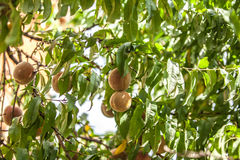 Peach on branch Stock Images