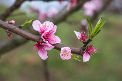 A peach branch with flowers. When spring comes, the peach trees blossomed and brilliantly in the orchard under blue sky and white cloud.This one corner of a Stock Image