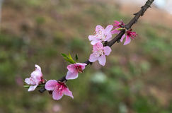 A peach branch with flowers Stock Photography