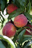 Peach on a branch Royalty Free Stock Photo