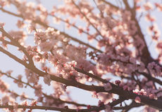 Peach branch with pink flowers Stock Photo