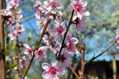 Peach branches blooming blue sky. A diligent bee from flower to flower romp through the branches of flowering peach and gather pollen miraculously royalty free stock photo