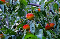 Peach branches with ripe fruits. Peach branches with ripe juicy fruits stock photography