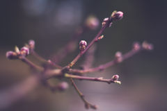 Peach buds Royalty Free Stock Images