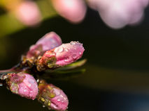 Peach buds Stock Images