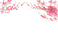 Peach or Cherry blossom in spring time Royalty Free Stock Photography