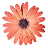 Peach Color Daisy Royalty Free Stock Photos