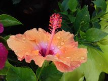 Peach color hibiscus flower with water droplets stock photography