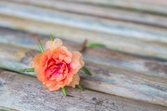 Peach color portulaca. A peach color portulaca Portulaca grandiflora in bamboo bench stock images