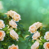 Peach color roses background Royalty Free Stock Images