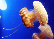 Peach Color Spotted Jellyfish with Tails Stock Photography