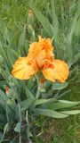 Peach colored iris. In full bloom royalty free stock photography