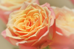 Peach colored rose Stock Photography