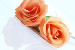 Peach colored rose, angled on white Royalty Free Stock Images