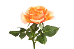 Peach colored rose Stock Images