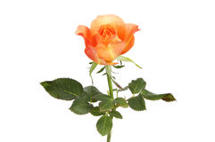 Peach colored rose Royalty Free Stock Photo