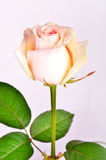 Peach-colored rose on a stem. Peach rose bud on a stem with leaves Stock Images