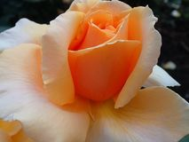 A Peachy Rose Stock Images