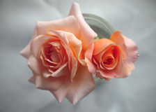 Peach colored roses for wedding invitation Royalty Free Stock Photography