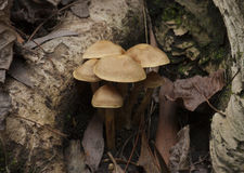 Peach colored toadstools Royalty Free Stock Photo