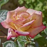 Peach colored wet rose Stock Photography