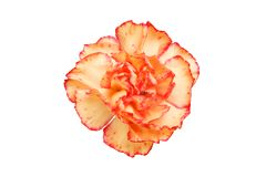 Peach coloured carnation. Flower isolated against white royalty free stock photo