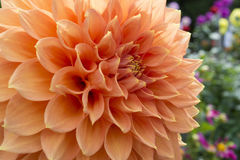 Peach Coloured Christie Leader Dahlia in the Garden. Partial view of a growing apricot coloured Christie Leader Dahlia with colourful array of flowers in the stock photography