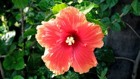 The peach coloured flower of a Hibiscus shrub royalty free stock photography