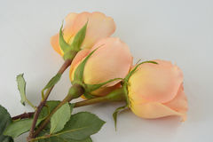 Peach coral roses. Close up of three coral each colored roses against grey background stock image