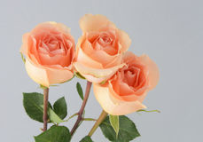 Peach coral roses. Close up of three coral each colored roses against grey background stock photo