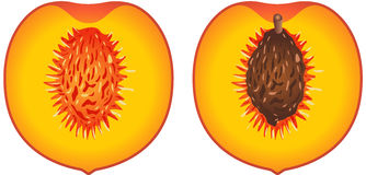 Peach cut in half. Scalable image representing a peach cut in half, isolated on white vector illustration