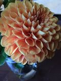 Peach Dahlia stock photo