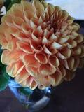 Peach Dahlia Stock Photo