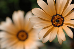 Peach daisy flower. Two Daisy/gerber flowers with one in focus and the other one blury in the back Stock Photography