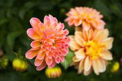 Peach Daisy. Flower in garden Stock Images