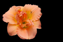 Peach Day Lily Royalty Free Stock Images