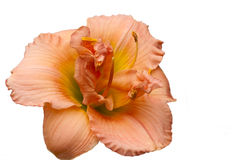 Peach Day Lily Royalty Free Stock Image