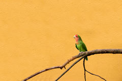 Peach-faced lovebird. (Agapornis roseicollis) on a branch against a light terracotta background - loads of room for text/logo Stock Image