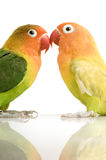 Peach-faced Lovebird. In  - Agapornis roseicollis or Lilian's Lovebird - Agapornis lilianae front of a white background Stock Photo