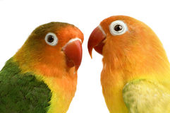 Peach-faced Lovebird. In  - Agapornis roseicollis or Lilian's Lovebird - Agapornis lilianae front of a white background Royalty Free Stock Photo