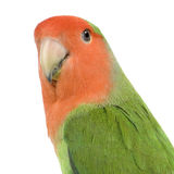 Peach-faced Lovebird. In  - Agapornis roseicollis or Lilian's Lovebird - Agapornis lilianae front of a white background Royalty Free Stock Image