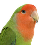 Peach-faced Lovebird. In  - Agapornis roseicollis or Lilian's Lovebird - Agapornis lilianae front of a white background Stock Photography