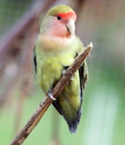 Peach Faced  Lovebird. Sitting on a branch Stock Image