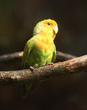Peach-Faced Lovebird on branch. (Agapornis, nuri_LUME Royalty Free Stock Image