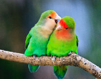 Peach-faced lovebird couple Stock Photography