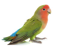 Peach faced Lovebird. Peach-faced Lovebird in front of white background Royalty Free Stock Photography