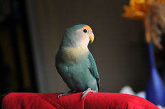 Peach faced lovebird. Looking at camera and posing Royalty Free Stock Photography