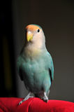 Peach faced lovebird. Looking at camera and posing Stock Images