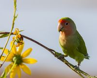 Peach-faced lovebird perched on branch stock images