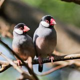 Peach-faced Lovebird Royalty Free Stock Photos